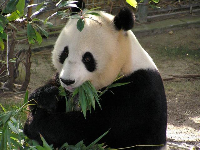 panda v zoologické zahradě