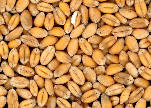 pšeničná zrna