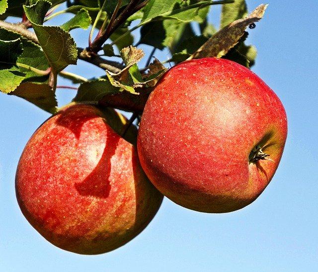 červená jablka na stromě