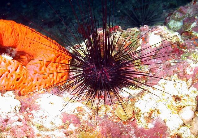 mořský ježek pod vodou.jpg